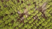aerial survey over planting coniferous forests pine planting. Panorama of coniferous forest from the air. birds eye view coniferous forest, tree plantations. aerial adventure over a coniferous forest Vídeos