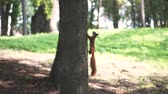 Red squirrel climb on three in the forest. Стоковые видеозаписи