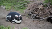 african penguin : blur in south africa bettys bay wildlife nature reserve birds penguin and rocks