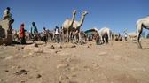 camel : ETHIOPIA, BABILE-CIRCA DECEMBER 2017 - unidentified people in the dromedary market Stock Footage