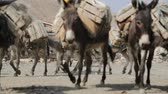 danakil : in danakil ethiopia africa in the village the caravan of donkey with salt Stock Footage