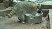 arruela : Raccoon Procyon lotor rinses food in a basin