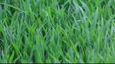 herbaceous : Rice seedling grow sturdily in spring, north china Stock Footage