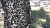 рептилия : Texas Rat Snake climbing a tree