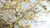crab apple : Beautiful apple tree branch, slow motion