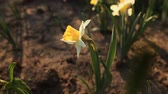jonquil : Beautiful narcissus close up, slow motion Full HD