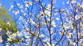 Beautiful apple tree branch Blooming. Spring, blossom. White flowers over blue sky