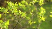 Fresh green spring leaves. Tree branches close-up. Dolly shot. Season specific. Good weather. Beauty in nature