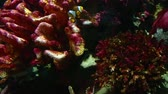 selfish : Corals and exotic marine fish. Ocean life. The oceanarium. Scene under water. Large aquarium. Wild nature. Tropical inhabitants clown fish Stock Footage