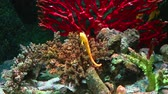 selfish : Corals and exotic marine fish. Ocean life. The oceanarium. Scene under water. Large aquarium. Wild nature. Tropical inhabitants Half-spined seahorse