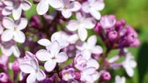 Beautiful macro video of a purple lilac blooming. Close up flowers. Spring time Vídeos