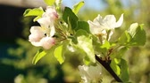 branch : Blossoming apple tree. Macro shot white flower on the wind. Close up video spring time nature
