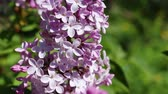 ботаника : Beautiful macro video of a purple lilac blooming. Close up flowers. Spring time Стоковые видеозаписи