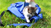 lovable : Two cute kittens looking from the bag the first time outdoors. Adorable kitty on the grass. Animal and nature Stock Footage