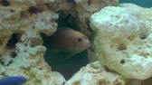 okyanus : Fish in aquarium blue water closeup Stok Video
