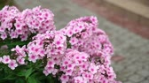 hortensie : A beautiful pink hydrangea flower in private garden Stock Footage