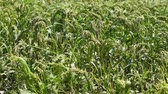spiked : Green field of millet in summer, spikelets swaying in the breeze under the bright sun. Agricultural background