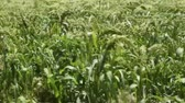 semente : Green field of millet in summer moves by, spikelets swaying in the breeze under the bright sun. Agricultural botanical background.