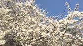 blooming : Blooming apricot tree branches swaying on the wind Stock Footage