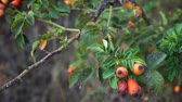 heup : Ripe rose hips on branches with leaves in autumn