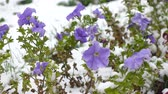 silence : blue flowers covered with snow