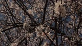 fragility : Apricot tree flowers with camera lifting