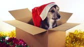 ajándékdobozban : Cute puppy sits in gift box with Christmas and New Year decorations.