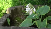 Blooming Hosta in old english garden Summertime