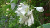 Flowers of Hosta in old english garden Summertime Wideo