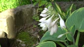 White flowers of Hosta in old english garden Summertime
