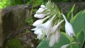 Beautiful white flowers of Hosta in old english garden Summertime