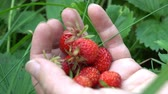 Woman holds strawberry on the palm in old english garden Summertime