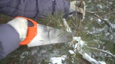 alasca : Close up of cutting pine tree branches by saw in winter snowy garden for Merry Christmas and Happy New Year