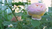 English pink roses with green leaves in traditional garden Videos