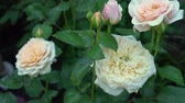 Creamy English roses in traditional garden Stok Video