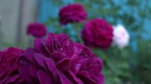 Dark red English roses in traditional garden with green leaves