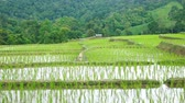 grain growing : Young rice are growing in the rice fields.