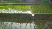 kész : Young rice are growing in the rice fields.