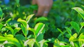 Woman picking green tea leaves on plantation in Chiang Rai Province in Northern Thailand. Vidéos Libres De Droits