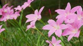 lilia : pink lily flowers in the garden