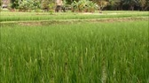 abundante : Vibrant Green Paddy Field in the Gentle Wind, Countryside of Thailand Stock Footage