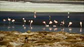 bolivia : Large Group of Pink Flamingos Feeding in Laguna Hedionda, The Saline Lake in Andean Altiplano, Potosi Department of Bolivia
