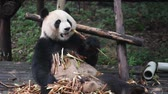 chengdu panda : Giant panda eating bamboo closeup Stock Footage