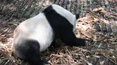 chengdu : Giant panda eating bamboo close-up