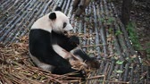 giant panda : Giant panda eating bamboo closeup Stock Footage