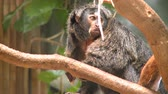 amazonas : Pale-faced Saki Affen