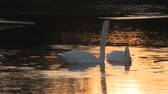 romance : A pair of swans float around a pond as the sun sets. Wideo