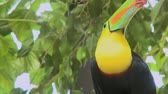 çirkin : A Toucan perched on a branch looks around. Stok Video