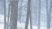 borovice : Winter storm in the woods
