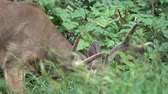 оленьи рога : A scene as a buck is nibbling on raspberry leaves Стоковые видеозаписи